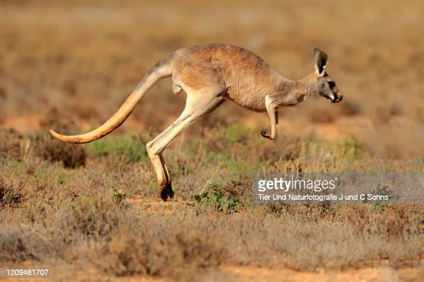 red kangaroo, (macropus rufus), adult jumping, sturt nationalpark, new south wales, australia - nationalpark stock pictures, royalty-free photos & images