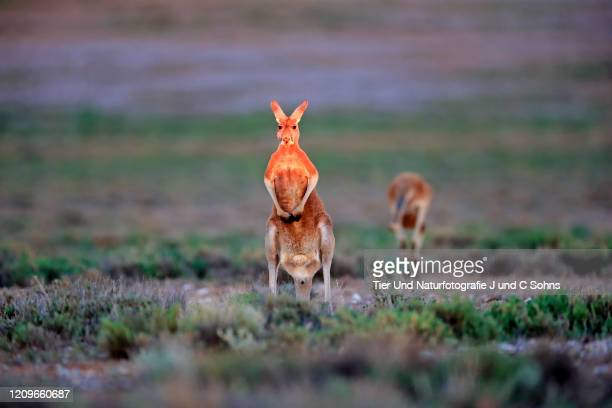 red kangaroo, (macropus rufus), adult male alert, sturt nationalpark, new south wales, australia - nationalpark stock pictures, royalty-free photos & images