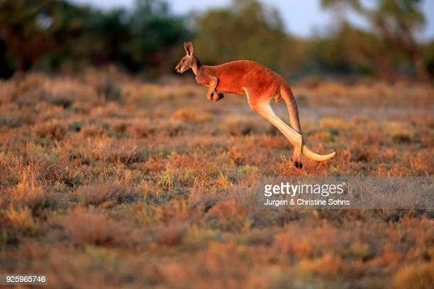 Red kangaroo (Macropus rufus), adult male jumping, evening light, Sturt National Park, New South Wales