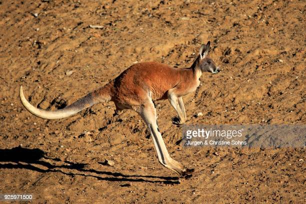 Red kangaroo (Macropus rufus), adult male jumping, Sturt National Park, New South Wales