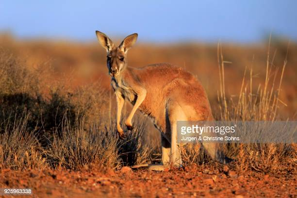 Red kangaroo (Macropus rufus), adult watchful, Sturt National Park, New South Wales