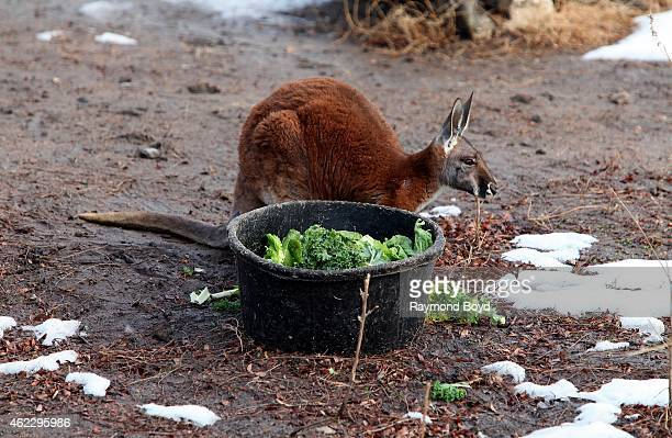 Red Kangaroo feeds on lettuce at Lincoln Park Zoo in Chicago on January 19 2015 in Chicago Illinois