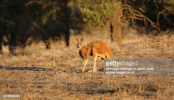 red kangaroo in natural environment, flinders ranges - kangaroo island stock photos and pictures