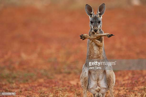 a red kangaroo joey standing up and crossing his arms over his chest - funny animals stock pictures, royalty-free photos & images