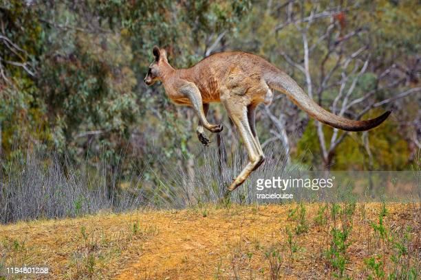 rotes känguru springen - camel active stock-fotos und bilder