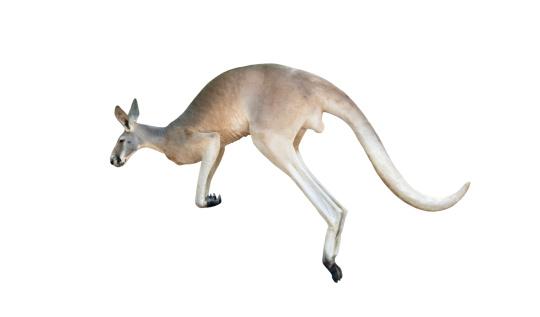 red kangaroo jumping 512254187