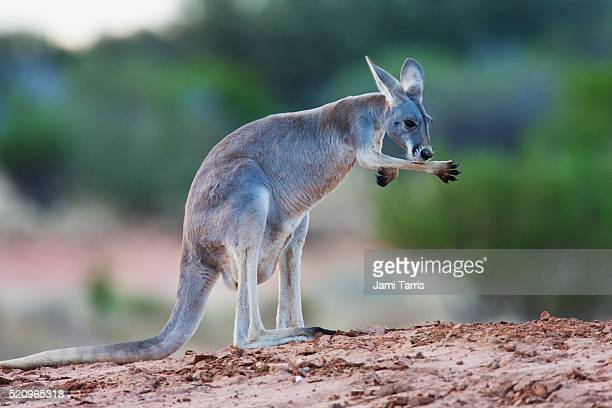 A red kangaroo licking his arm and paw