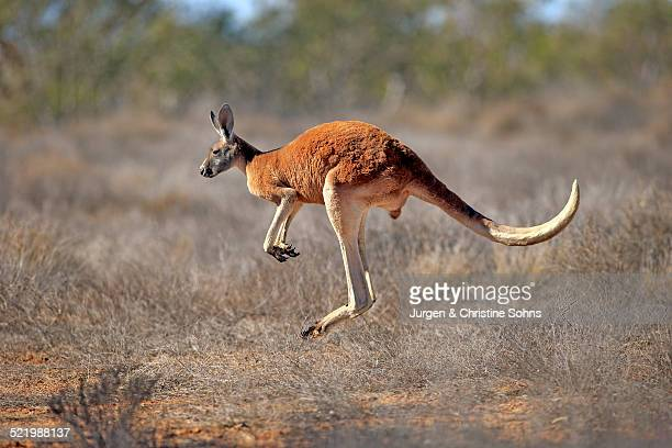 red kangaroo -macropus rufus-, adult male, jumping, sturt national park, new south wales, australia - kangaroo stock pictures, royalty-free photos & images