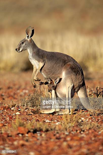 red kangaroo -macropus rufus- mother with young in her pouch, alert, sturt national park, new south wales, australia - sac stock pictures, royalty-free photos & images
