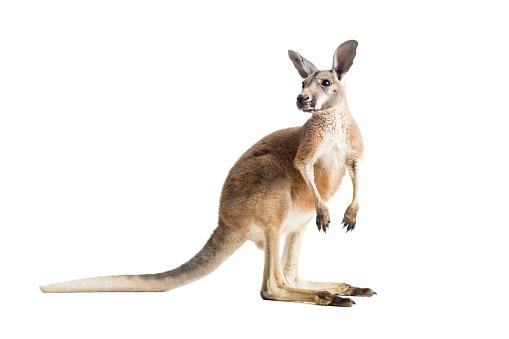 Red Kangaroo on White 606639654