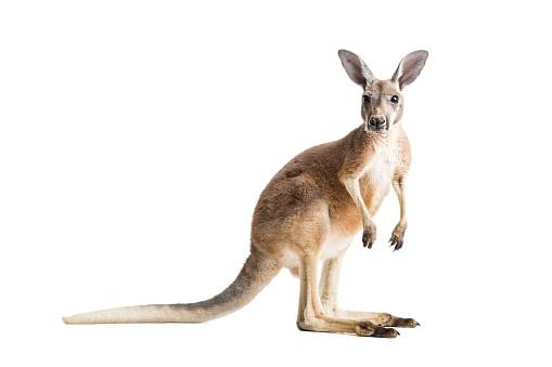 Red Kangaroo on White 641171366