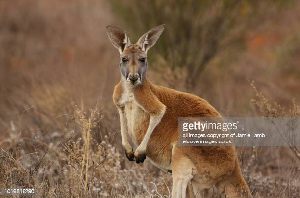 red kangaroo portrait in australian outback - kangaroo stock pictures, royalty-free photos & images