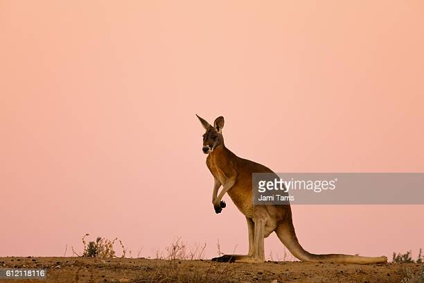A red kangaroo sits against a pink sky at dusk