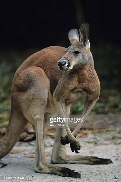 Red kangaroo (Macropus rufus) standing on hind legs, watching sideways, Australia