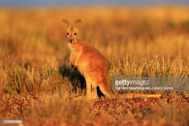 red kangaroo, (macropus rufus), young alert, sturt nationalpark, new south wales, australia - nationalpark stock pictures, royalty-free photos & images