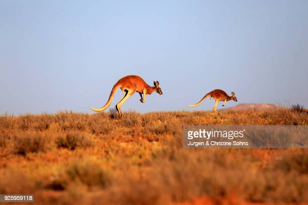 Red kangaroos (Macropus rufus), adult jumping, Sturt National Park, New South Wales