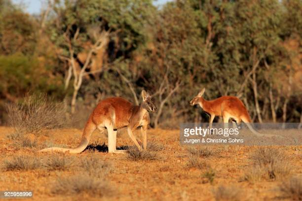 Red kangaroos (Macropus rufus), adult male, bushland, Sturt National Park, New South Wales