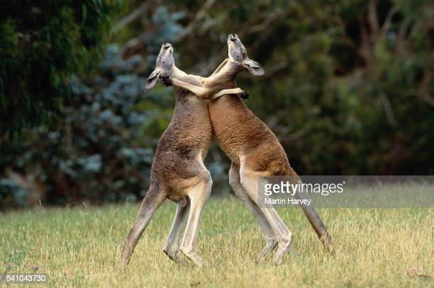 red kangaroos fighting - confrontation stock pictures, royalty-free photos & images