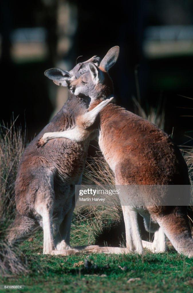 Red kangaroos greeting in australia stock photo getty images red kangaroos greeting in australia stock photo m4hsunfo