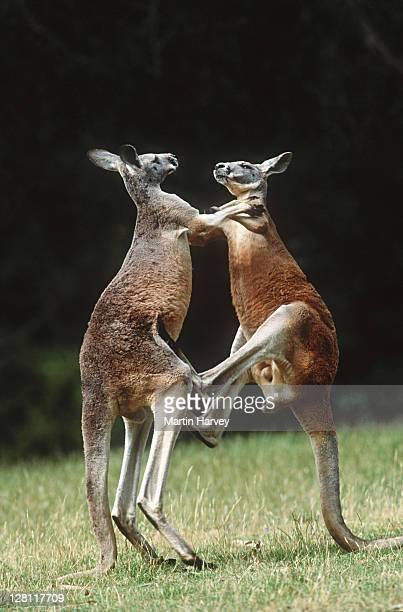Red Kangaroos, Macropus rufus. MAles fighting. Australia
