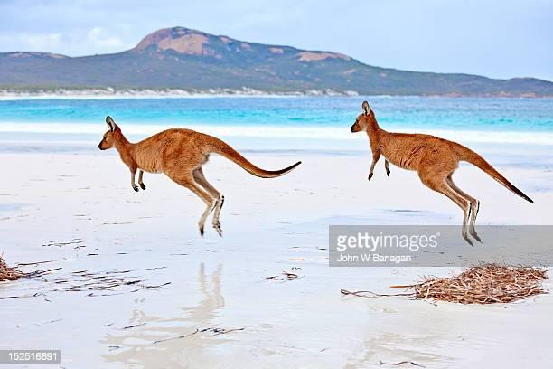 Red Kangaroos  (Macropus rufus) on a beach