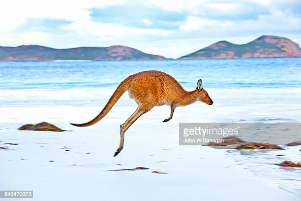 red kangaroos - kangaroo stock pictures, royalty-free photos & images