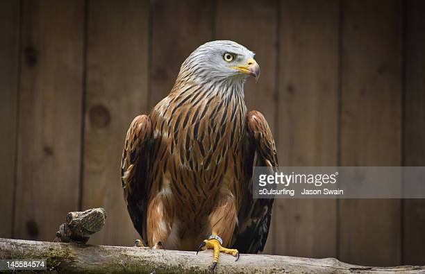 red kite. bird of prey - s0ulsurfing stock pictures, royalty-free photos & images