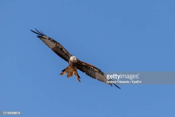 red kite bird of prey soaring thermals in summer - portsmouth england stock pictures, royalty-free photos & images