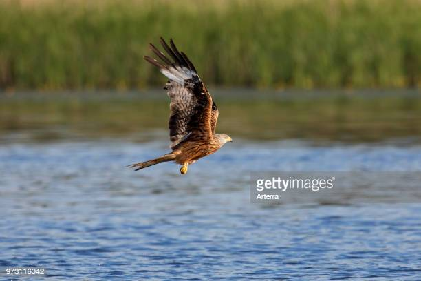Red kite flying over lake / river while hunting for fish