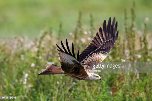 Red kite flying over meadow with wildflowers in summer