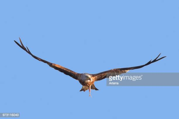 Red kite flying with caught fish in talons against blue sky
