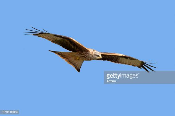 Red kite in flight against blue sky