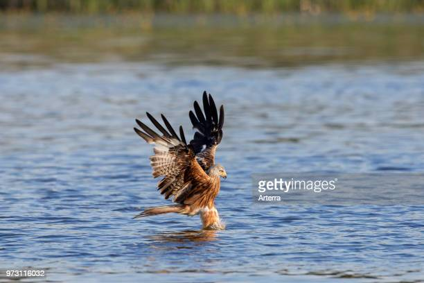 Red kite in flight catching fish from lake's water surface