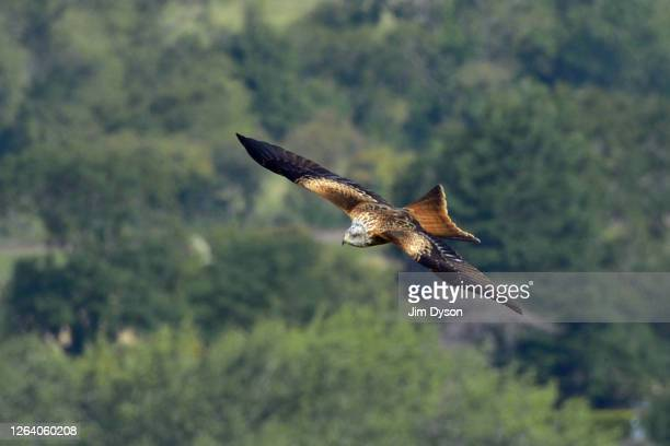 Red Kite is seen hovering over fields in the countryside near Beacon Hill on August 04 2020 in Ellesborough England