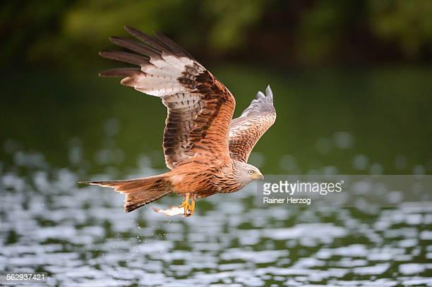 red kite -milvus milvus- flying with prey across a lake, mecklenburg-western pomerania, germany - raubvogel stock-fotos und bilder