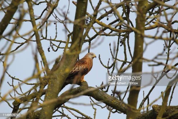 red kite ( milvus milvus) - dave ashwin stock pictures, royalty-free photos & images
