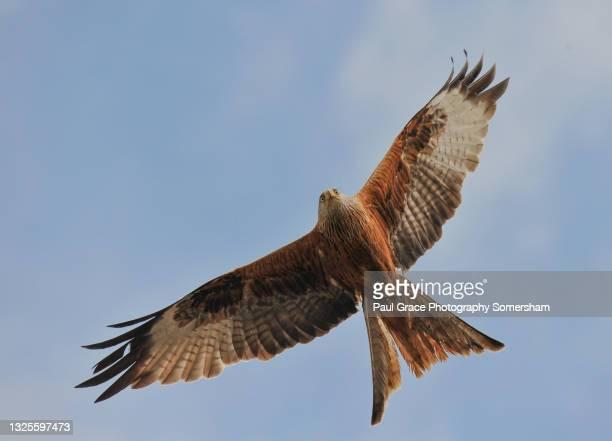 red kite (milvus milvus) - animal body part stock pictures, royalty-free photos & images