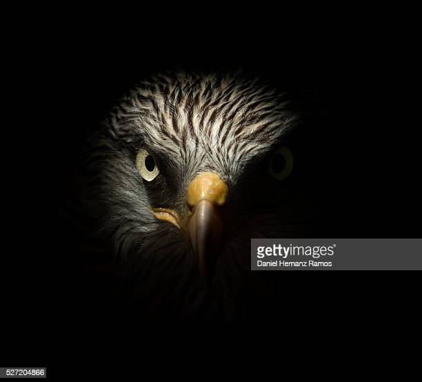red kite - hawk bird stock photos and pictures