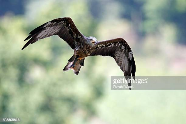 red kite - raubvogel stock-fotos und bilder