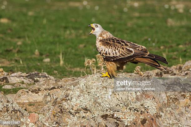red kite - perching stock photos and pictures