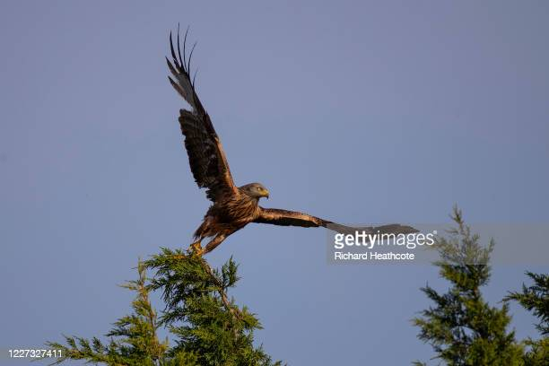 Red Kite takes off from the top of tree on May 26 2020 in High Wycombe England Red Kites are thriving in the Chilterns just over 30 years since their...