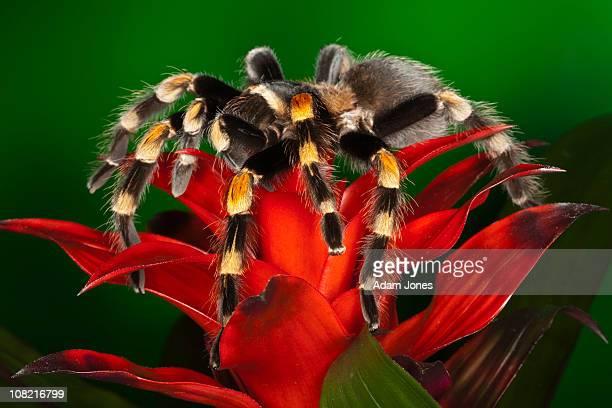 Red Knee Tarantula, Brachypelma smithi