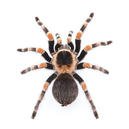 red knee tarantula 136947933