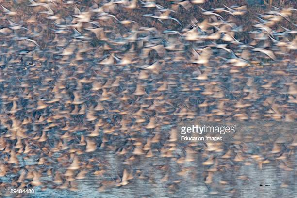 Red Knot Calidris canutus and Oystercatchers leaving high tide roost at Snettisham RSPB Reserve The Wash Norfolk