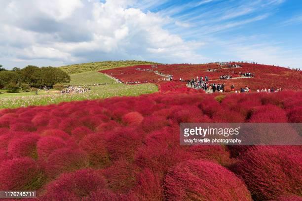 red kochia scoparia field against blue sky - 茨城県 ストックフォトと画像