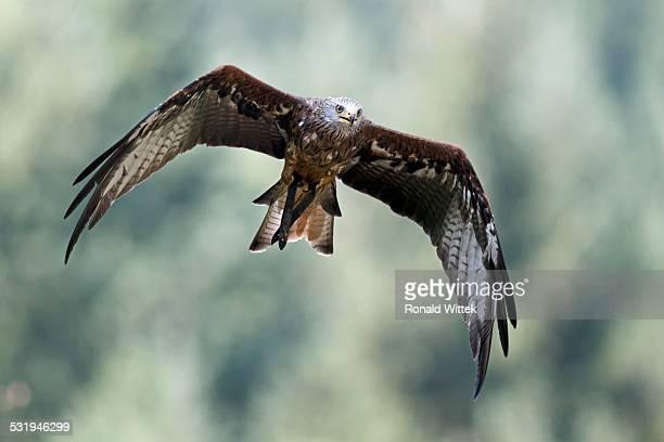 red kte - raubvogel stock-fotos und bilder