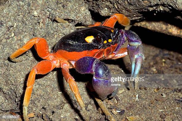 Halloween Crab Stock Photos and Pictures | Getty Images