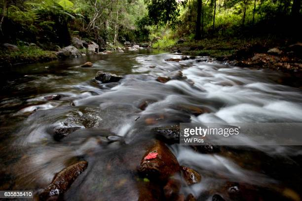 Red Leaf in a rainforest stream Lamington National Park Australia