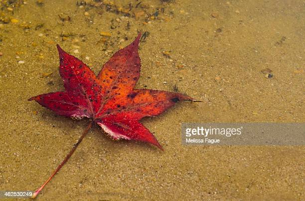 red leaf in water - melissa fague stock pictures, royalty-free photos & images