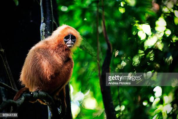 Red Leaf Monkey in primary forest in Danum Valley Park, in the state of Sabah, Borneo island, Malaysia.